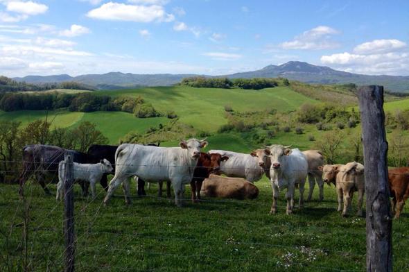ilmolino_cows